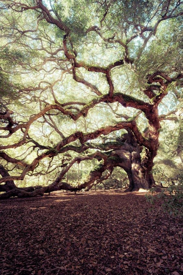 Angel Oak Tree fotografia de stock royalty free