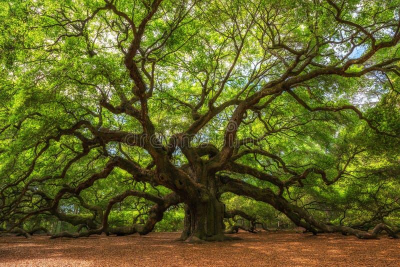 Angel Oak Tree em South Carolina fotografia de stock royalty free