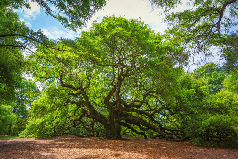 Angel Oak Tree. The large and beautiful Angel Oak Tree in South Carolina stock photos