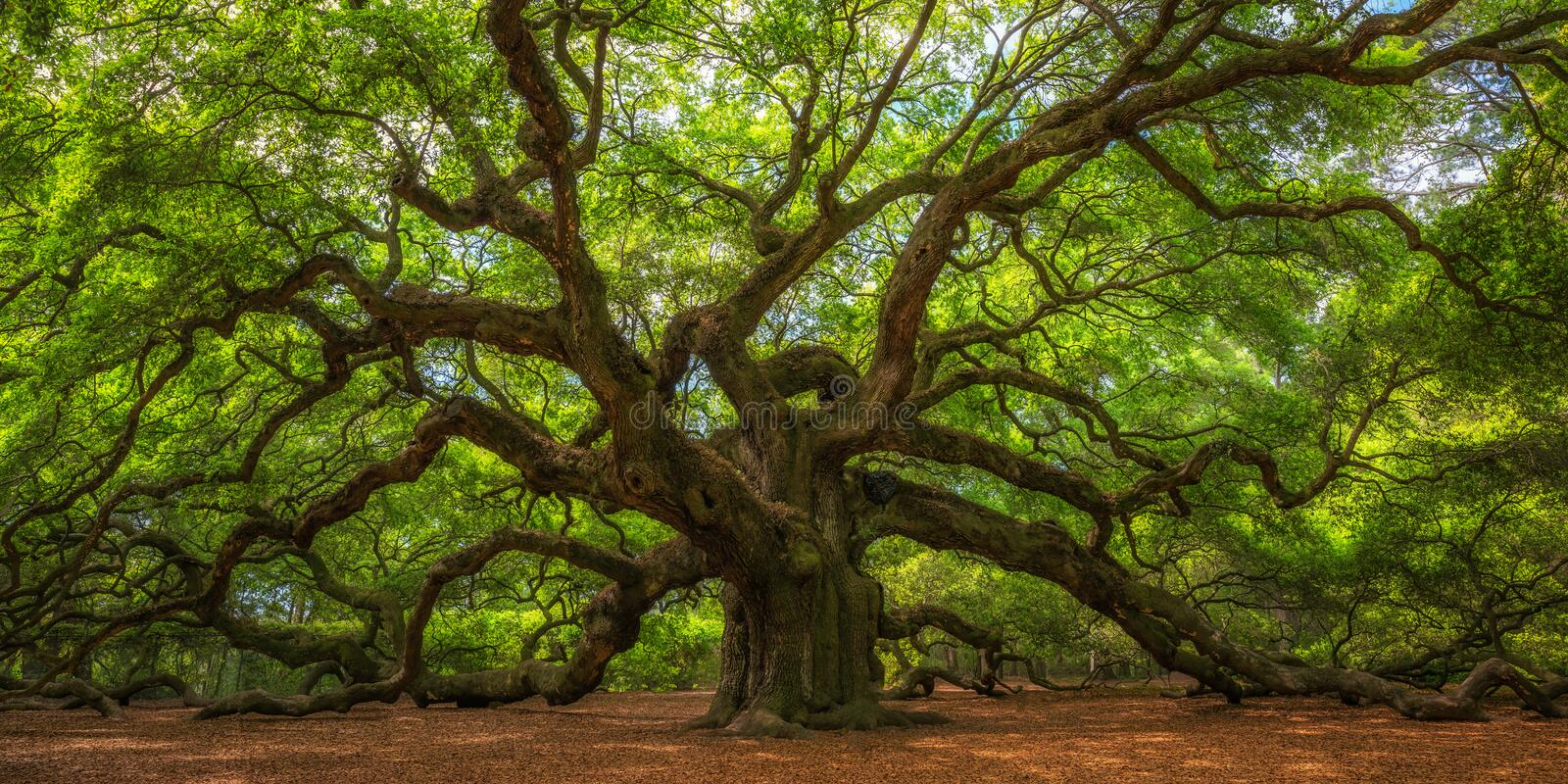 Angel Oak Tree Panorama stock fotografie