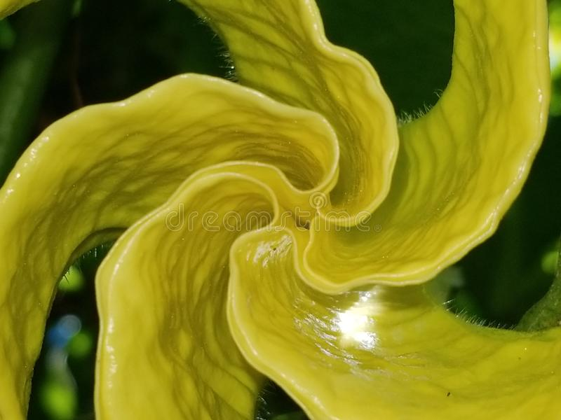 Coming to Life. An angel trumpet flower beginning to bloom royalty free stock image