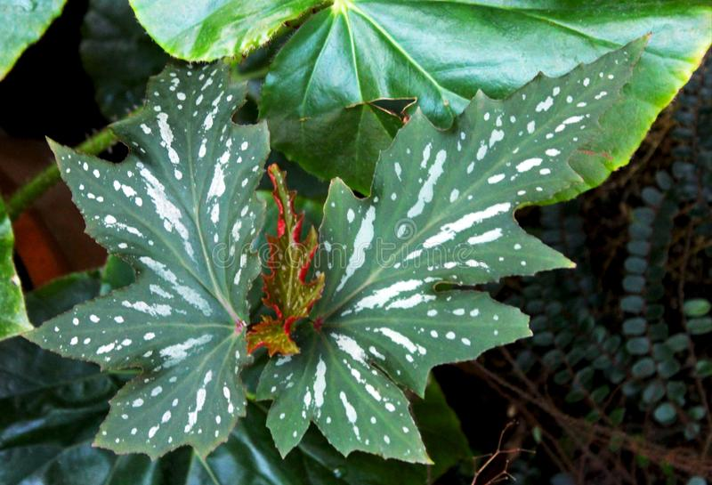 Begonia coccinea, Angel Wing Begonia royalty free stock image