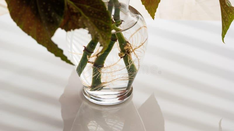 Angel Wing Begonia Rooting i vatten royaltyfri bild