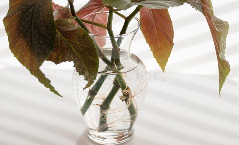 Angel Wing Begonia Stems Rooting i vatten arkivfoto
