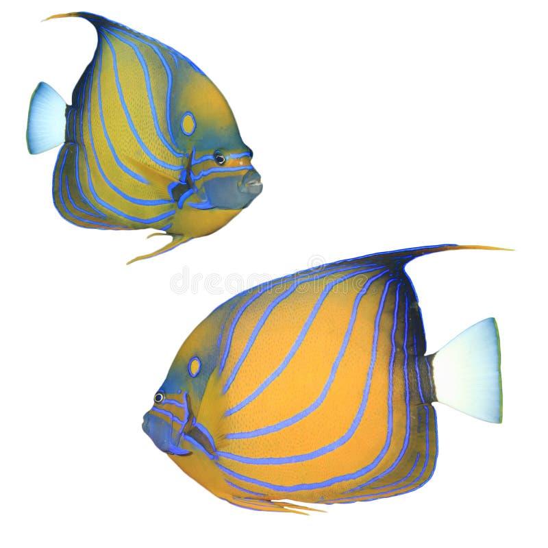 angelfish μπλε bluering πλάνο ανασκόπησης υποβρύχιο στοκ φωτογραφίες