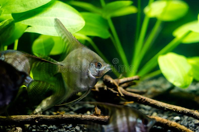Angelfish στο ενυδρείο στοκ εικόνες με δικαίωμα ελεύθερης χρήσης