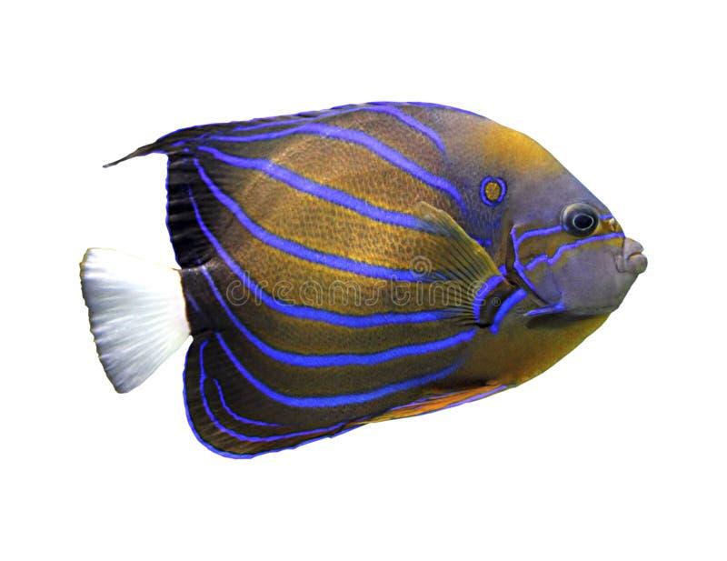Angelfish изолированный на белизне стоковые изображения rf