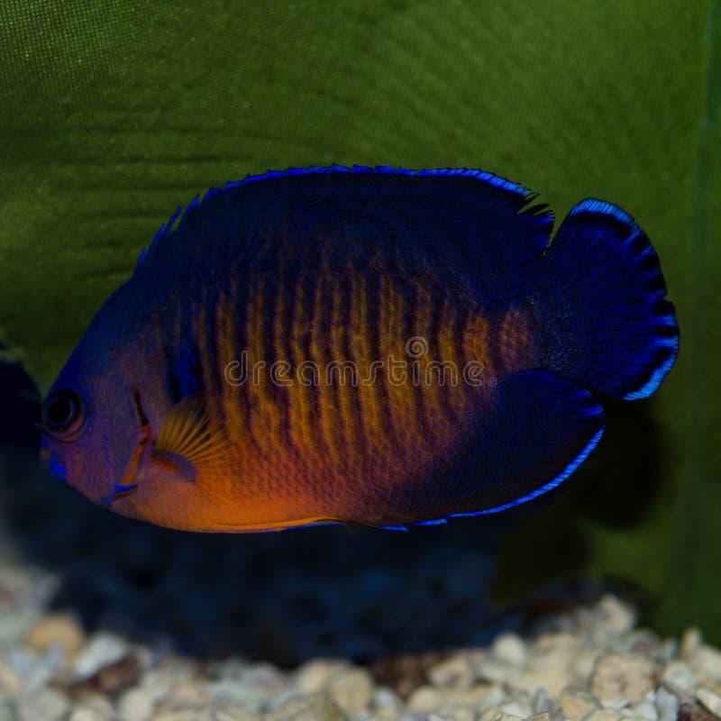 Angelfish красоты коралла стоковое изображение rf