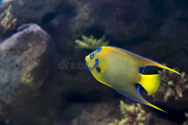 Angelfish ферзя стоковое изображение rf