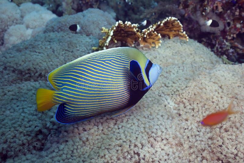 angelfish царственный стоковые изображения