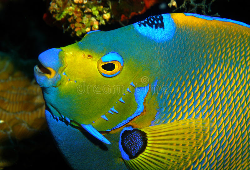angelfish obraz royalty free