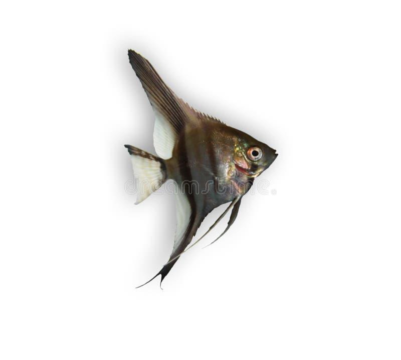 Angelfish lizenzfreie stockfotos