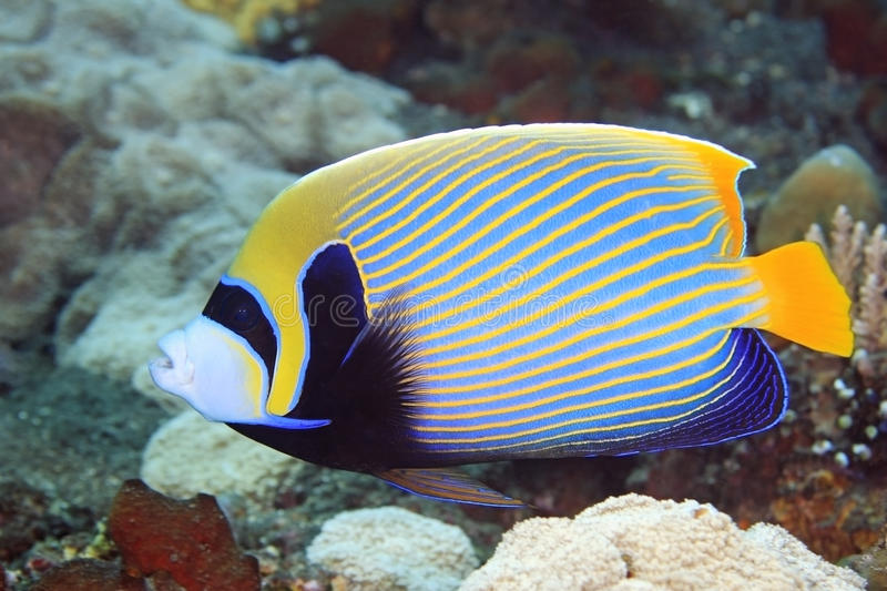 Angelfish. A Beautiful Emperor Angelfish swimming on the reef, underwater stock photography