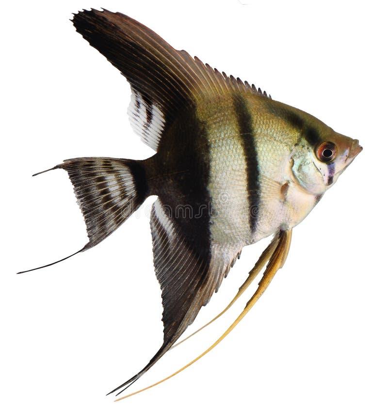 angelfish στοκ εικόνες