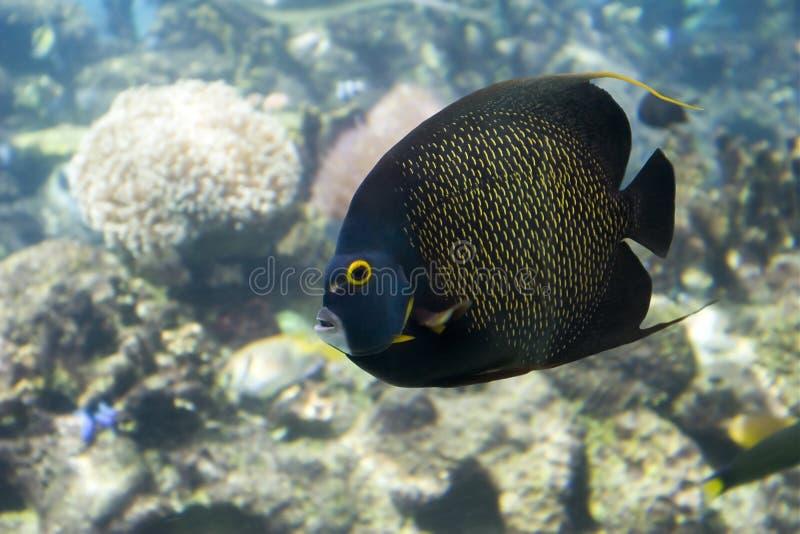 Angelfish photographie stock libre de droits