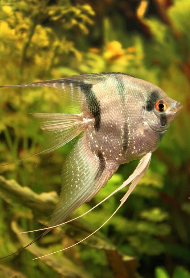angelfish στοκ φωτογραφία με δικαίωμα ελεύθερης χρήσης