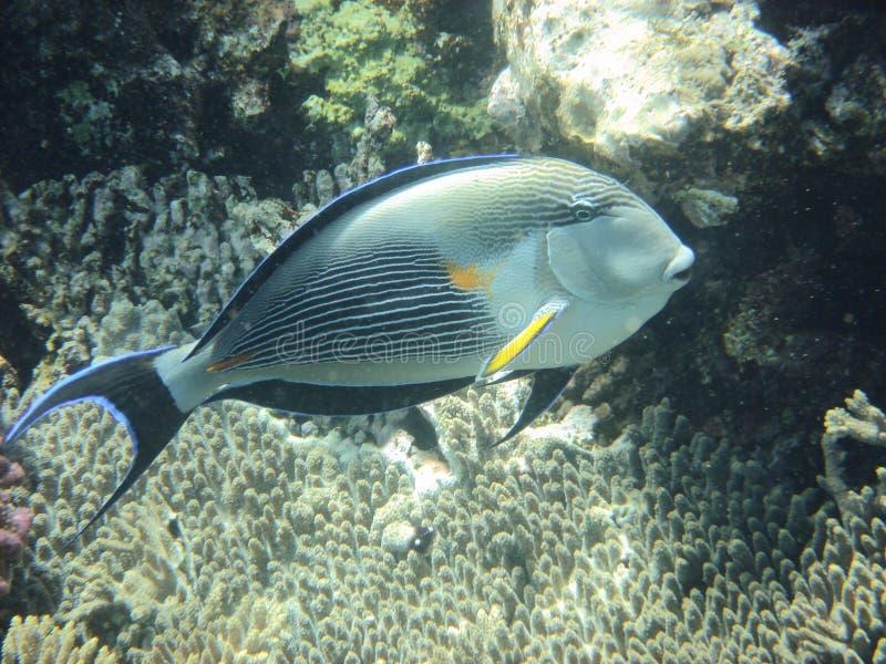 angelfish стоковые изображения
