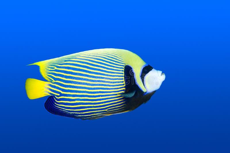 Angelfish stock images
