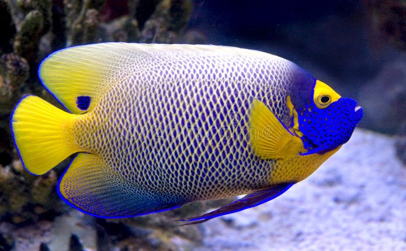 Angelfish 7 di Blueface fotografie stock libere da diritti