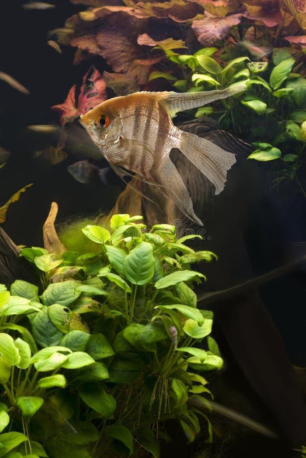 Free Angelfish Stock Photography - 8900652