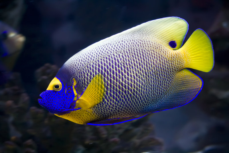 angelfish στοκ εικόνες με δικαίωμα ελεύθερης χρήσης