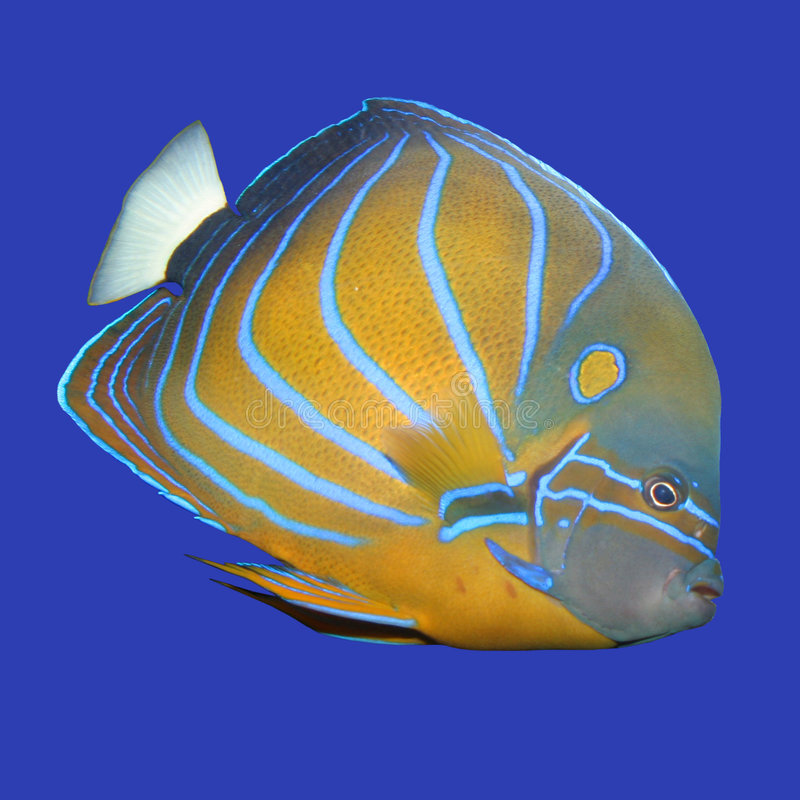 Angelfish photos stock