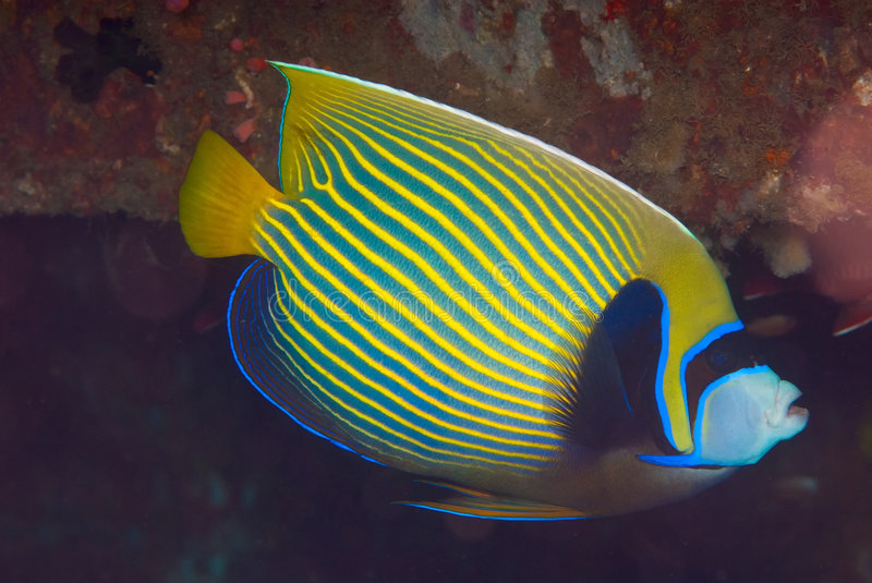 angelfish cesarza imperator pomacanthus obrazy royalty free
