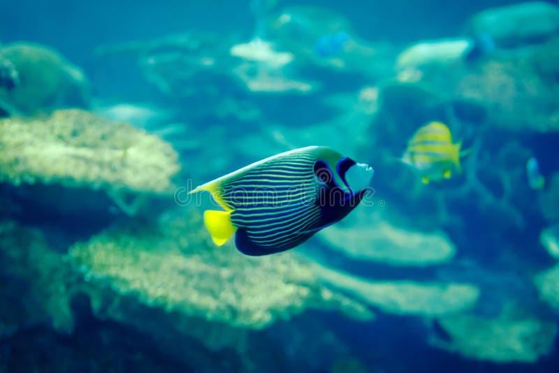 Angelfish d'empereur photographie stock libre de droits