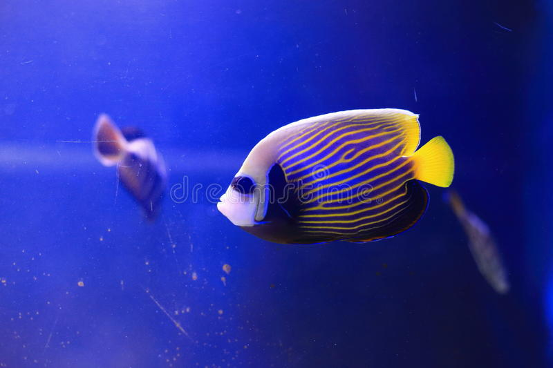 Angelfish d'empereur photo stock