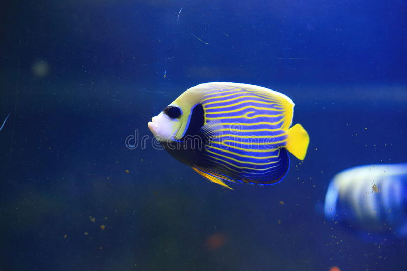 Angelfish d'empereur image libre de droits