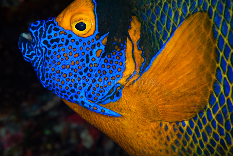 Angelfish da Amarelo-máscara, Maldives fotografia de stock royalty free