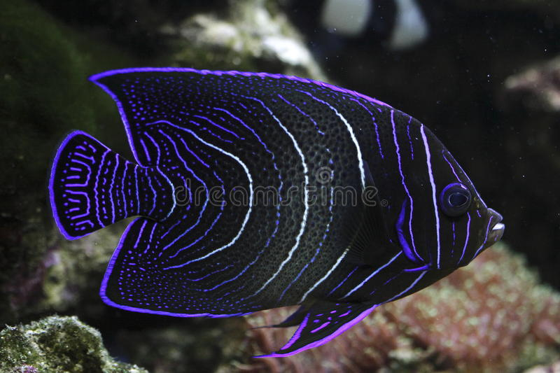 Angelfish de Koran fotografia de stock royalty free