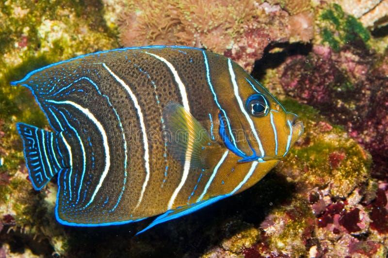 Angelfish de Koran no aquário fotografia de stock