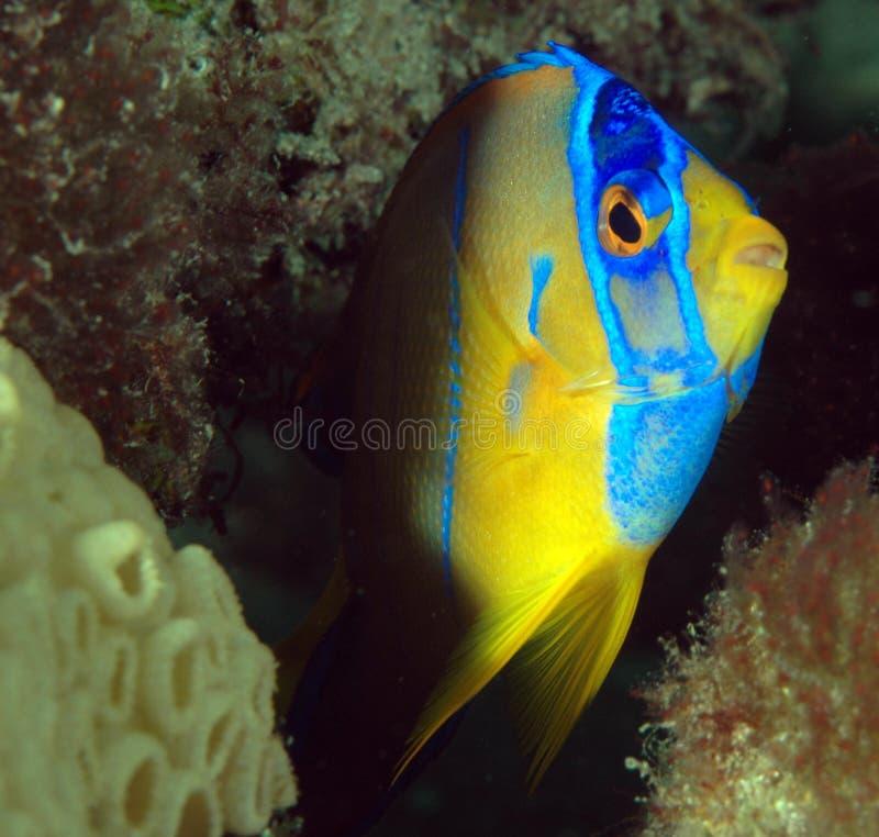 Download Angelfish De La Reina De Juvenille Foto de archivo - Imagen de biología, subacuático: 7280150
