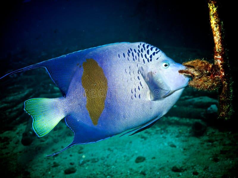 Angelfish de Yellowbar (maculosus do Pomacanthus) imagem de stock