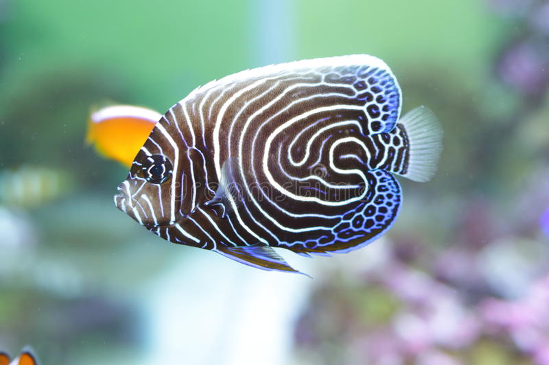 Angelfish dell'imperatore fotografia stock