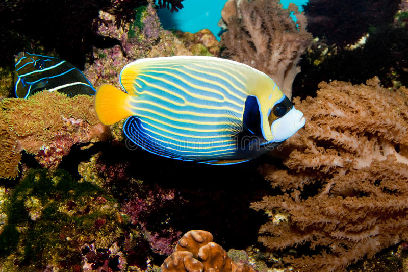 Angelfish dell'imperatore in acquario fotografie stock