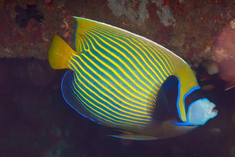 Angelfish dell'imperatore (imperator del Pomacanthus) immagini stock libere da diritti
