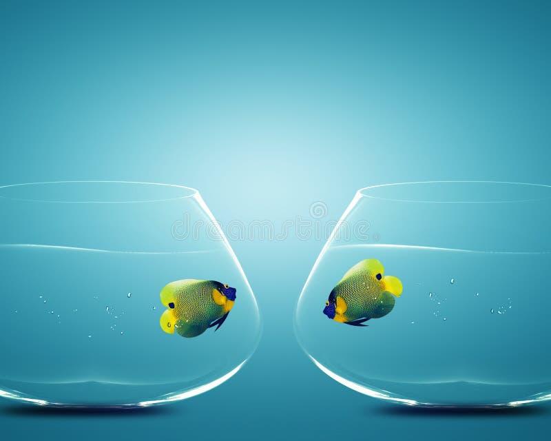 Angelfish deux dans des deux cuvettes photographie stock