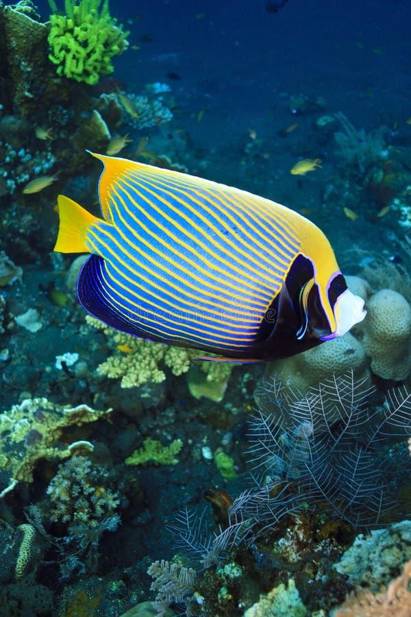 Angelfish do imperador imagem de stock royalty free