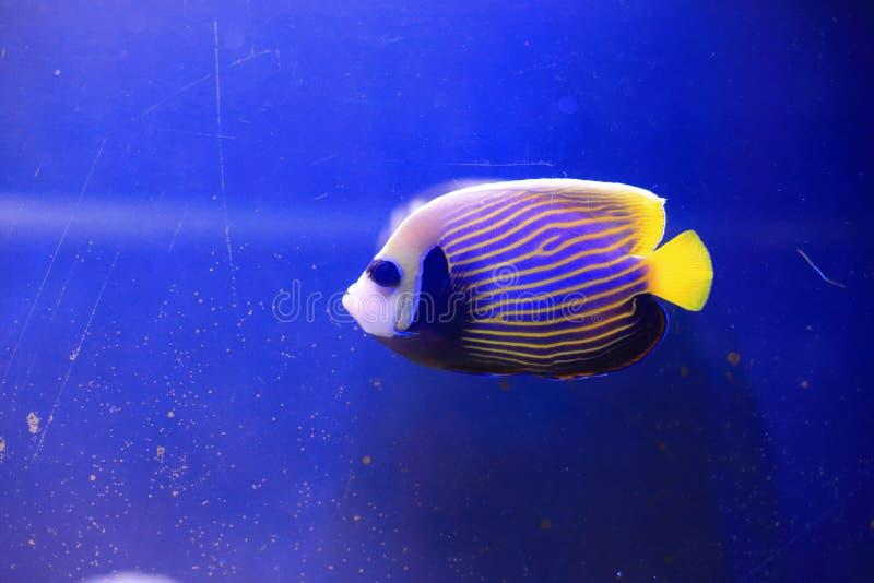 Angelfish do imperador foto de stock