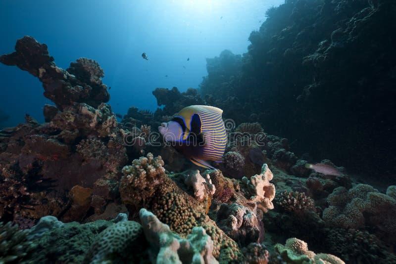Angelfish e oceano régios imagem de stock