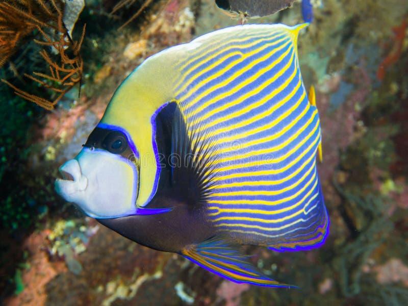 angelfish emperor 免版税库存图片