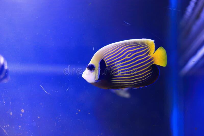 angelfish emperor 库存图片