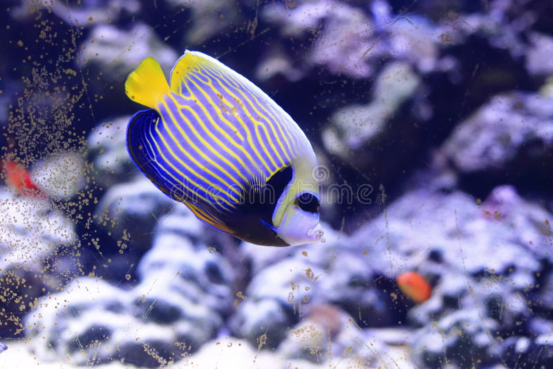 angelfish emperor 图库摄影