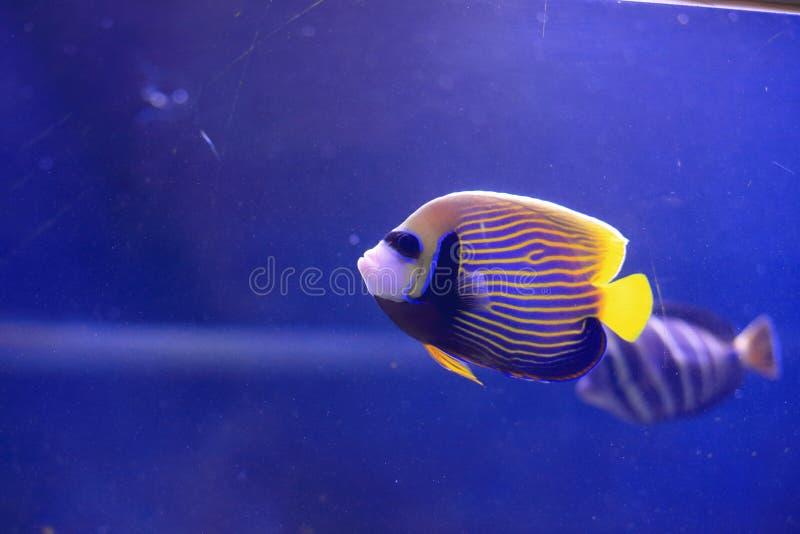 angelfish emperor 免版税图库摄影