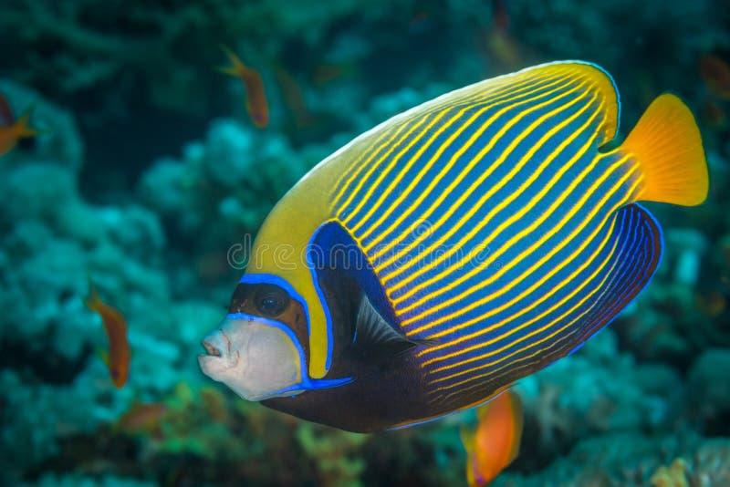 angelfish emperor arkivbilder