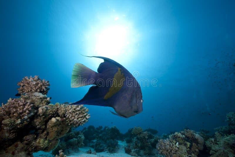 Angelfish et océan Arabes photo stock