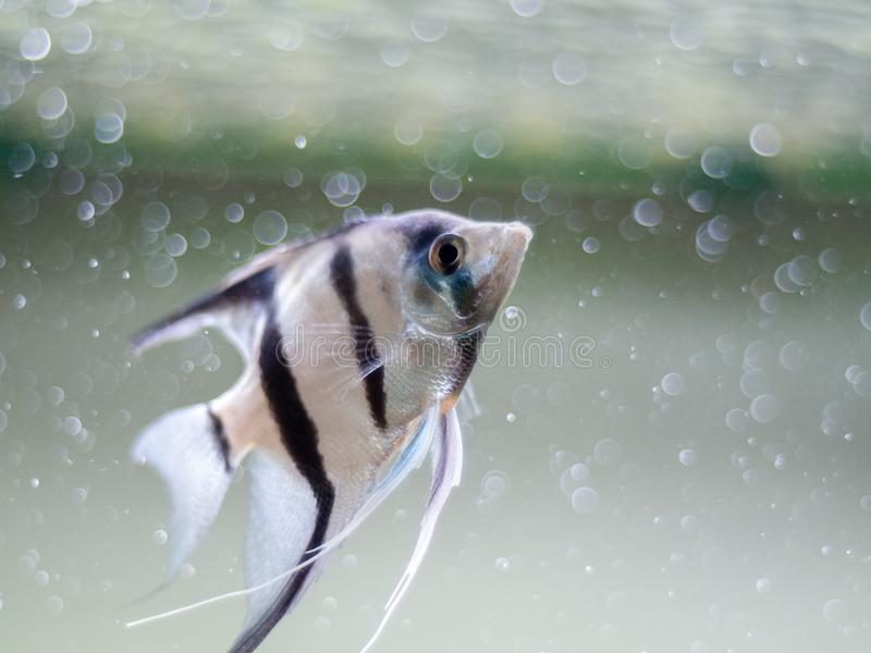 Angelfish in a fish tank with blurred bubbles background. An angelfish in a fish tank with blurred bubbles background royalty free stock image