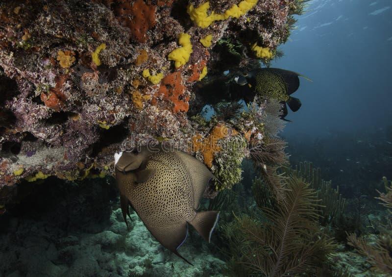 Angelfish français sur le récif coralien photos libres de droits